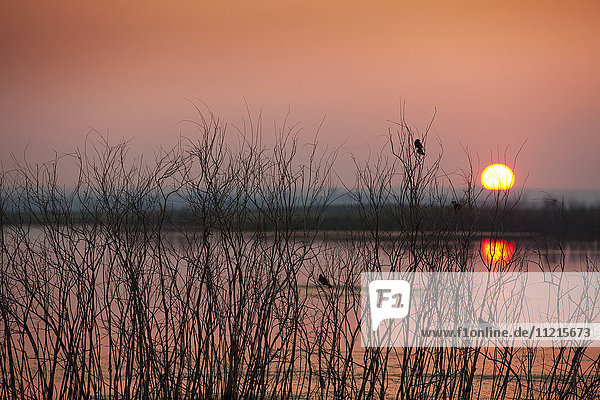 'Sun glowing in a pink sky at sunset and reflections on a tranquil lake with silhouettes of small birds in a tree; Saskatchewan  Canada'