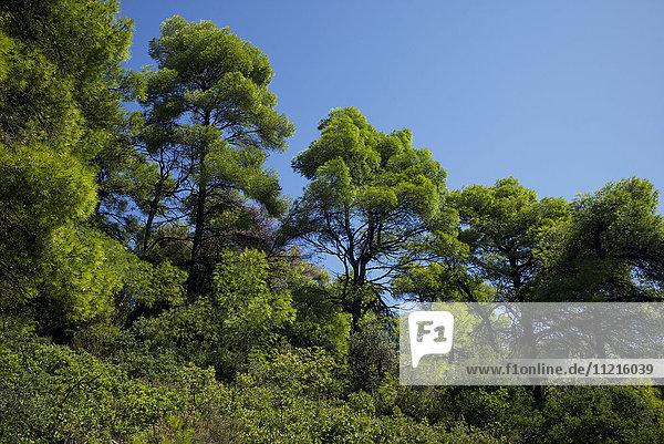 'Lush green trees against a blue sky; Sporades  Thessalia Sterea Ellada  Greece'
