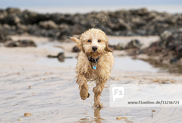 'A wet cockapoo runs through the water on a beach; South Shields  Tyne and Wear  England'