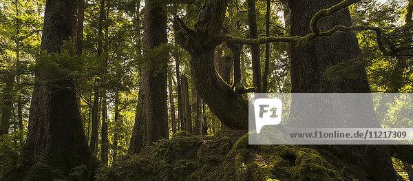 'The old growth trees of Haida Gwaii come to life as the sun shines through them; Haida Gwaii  British Columbia  Canada'