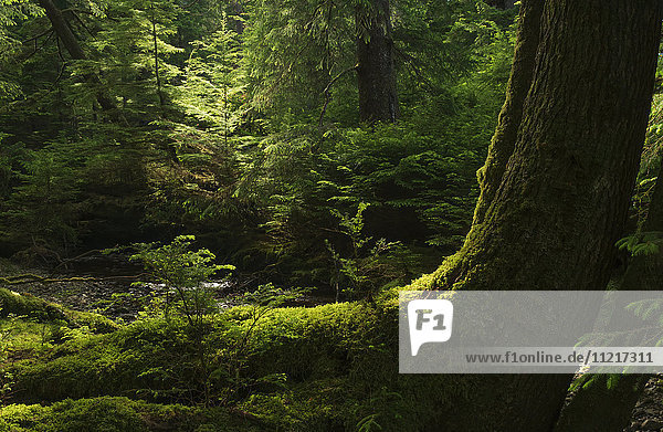 'Light shines through the forests of Haida Gwaii; Haida Gwaii  British Columbia  Canada'