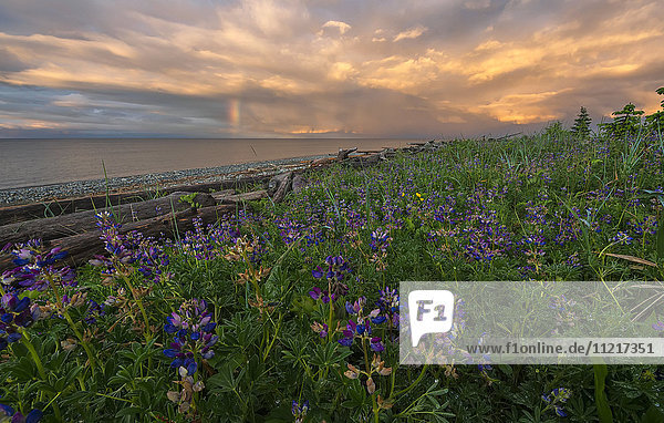 'Sunset over Hecate Strait with purple flowers in the foreground; Haida Gwaii  British Columbia  United States of America'