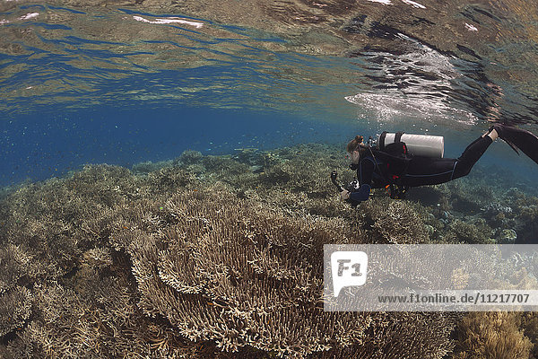 Fragile hard coral dominates this shallow reef scene with a diver; Wakatobi  Indonesia