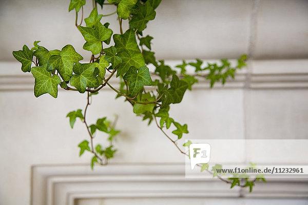 Detail of ivy.