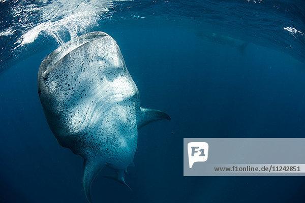 Whale shark (Rhincodon Typus) feeding vertically in water  Contoy Island  Mexico