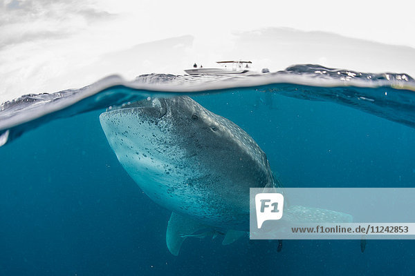 Whale shark (Rhincodon Typus) swimming near surface of water  Contoy Island  Mexico