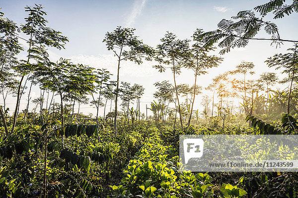 Sonnenbeschienene Kaffeeplantage  Wana Giri  Bali  Indonesien