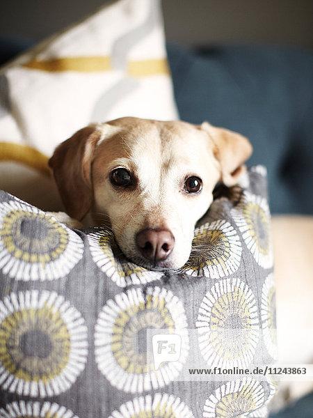 Kopfbild-Porträt eines auf einem Sofakissen ruhenden Hundes