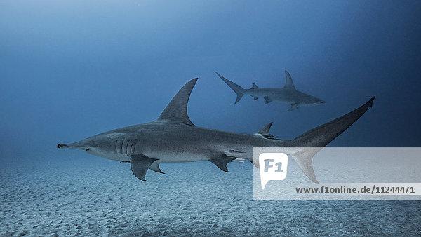 Unterwasser-Ansicht der Grossen Hammerhaie  Jupiter  Florida  USA