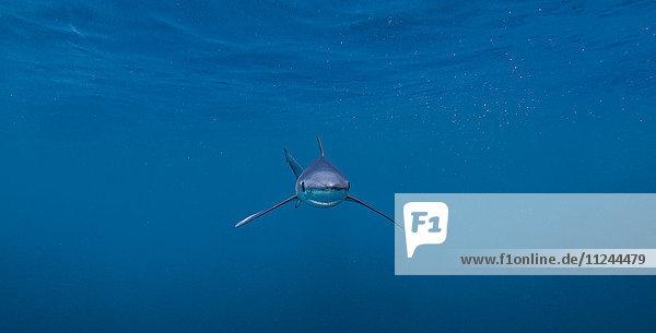 Unterwasseransicht des Blauhais  San Diego  Kalifornien  USA