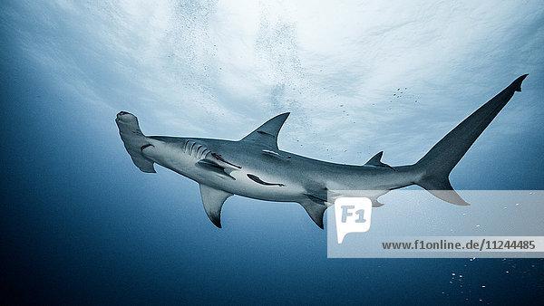 Underwater view of Great Hammerhead Shark  Jupiter  Florida  USA