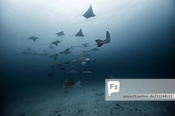 Underwater view of large group of Eagle Rays  Cancun  Mexico