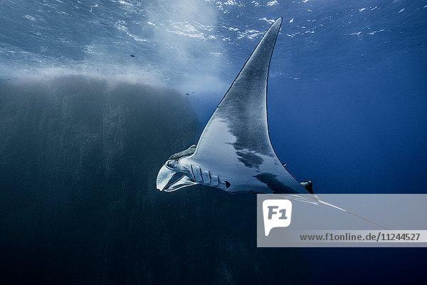 Unterwasseransicht des Riesenmantarochens  Socorro  Mexiko