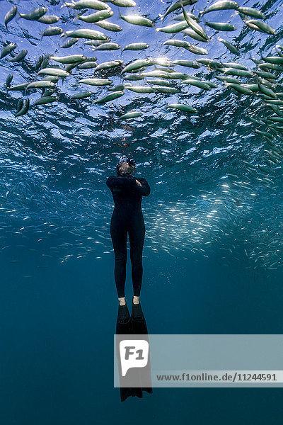 Taucher schwimmt durch einen Sardinenschwarm  Port St. Johns  Südafrika