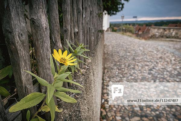 Sonnenblume am Holzaun  Münzenberg  Quedlinburg  Sachsen-Anhalt  Deutschland  Europa