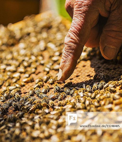 Beekeeper pointing on queen bee