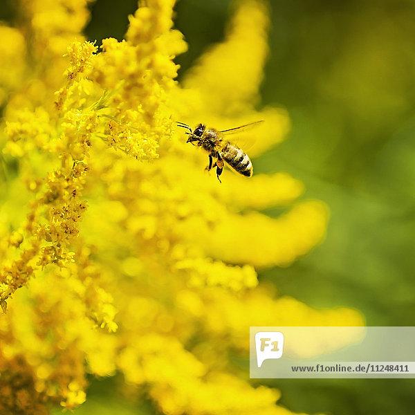 Honey bee flying to yellow flower Honey bee flying to yellow flower