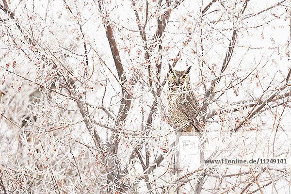 Great horned owl (Bubo virginianus) perching in tree in winter