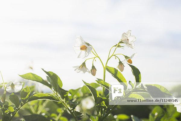 Close-up of flowering potato plant