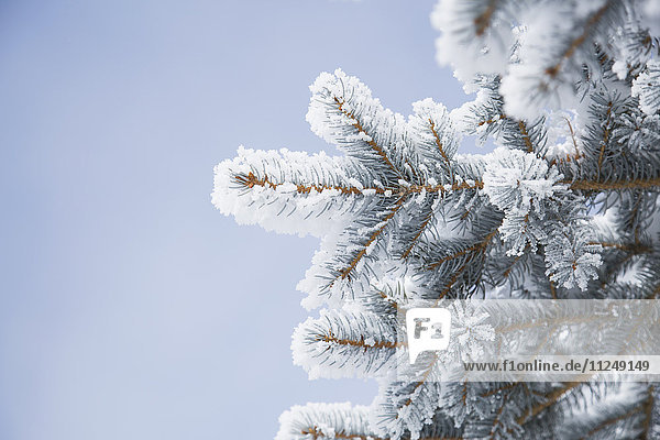 Close-up of pine twigs covered with snow