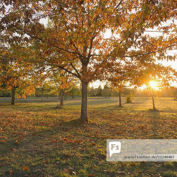 Autumnal trees at sunset