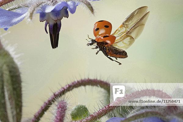 Siebenpunkt  Coccinella septempunctata  fliegt Siebenpunkt, Coccinella septempunctata, fliegt