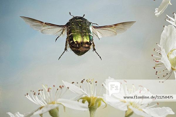 Rosenkäfer  Cetonia aurata  fliegt