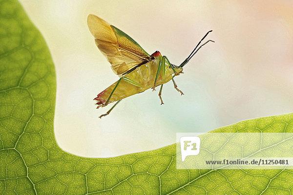 Wipfel-Stachelwanze  Acanthosoma haemorrhoidale  fliegt