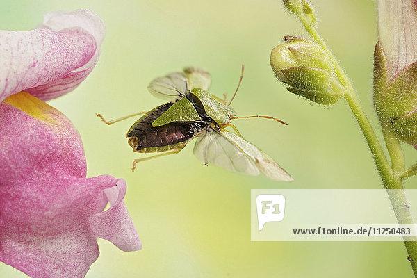 Grüne Stinkwanze  Palomena prasina  fliegt