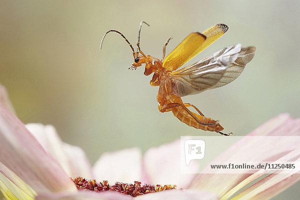 Rotgelber Weichäfer  Rhagonycha fulva  fliegt