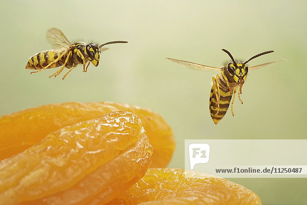 Zwei Gemeine Wespen,  Vespula vulgaris,  fliegen über Aprikosen