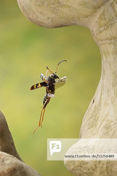 Echter Widderbock  Clytus arietis  fliegt
