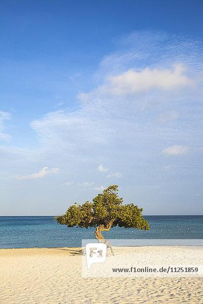Caribbean  Netherland Antilles  Aruba  Divi Divi Tree on Eagle Beach