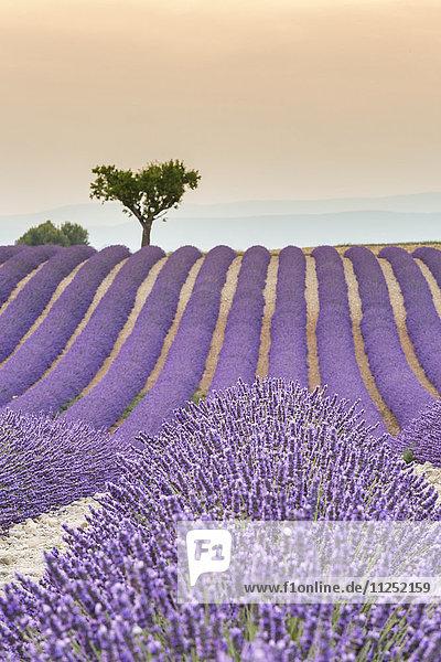 Lavender raws and tree at sunset. Plateau de Valensole  Alpes-de-Haute-Provence  Provence-Alpes-Côte d'Azur  France  Europe.