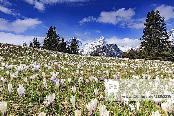 Crocus (Crocus vernus) bloom at Alp Flix  with Piz Platta in the background  Sur  Grisons  Switzerland