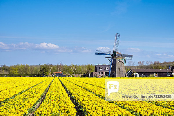 Netherlands  South Holland  Nordwijkerhout. Yellow Dutch tulip filed  tulips in front of a windmill in early spring.