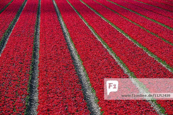 Netherlands  North Holland  Burgerbrug. Bright red tulip field in spring.