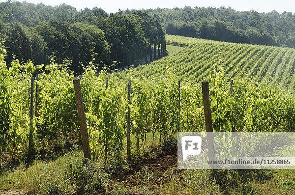 Italy  Montepulciano  Grape bushes in vineyard