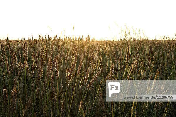 Field of wheat Field of wheat