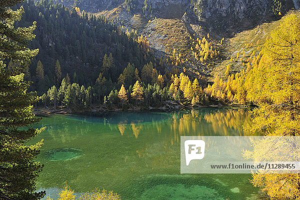 Larch Trees in Autumn on Shore of Lai da Palquogna  Albula-Pass  Grisons  Switzerland