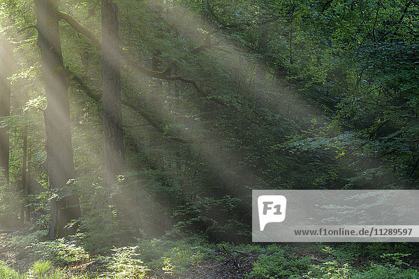 Forest with Haze and Sunbeams in the Morning in Spring  Vielbrunn  Odenwald  Hesse  Germany