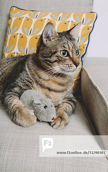 Tabby-Katze auf Sessel liegend mit Spielzeugratte  die etwas beobachtet