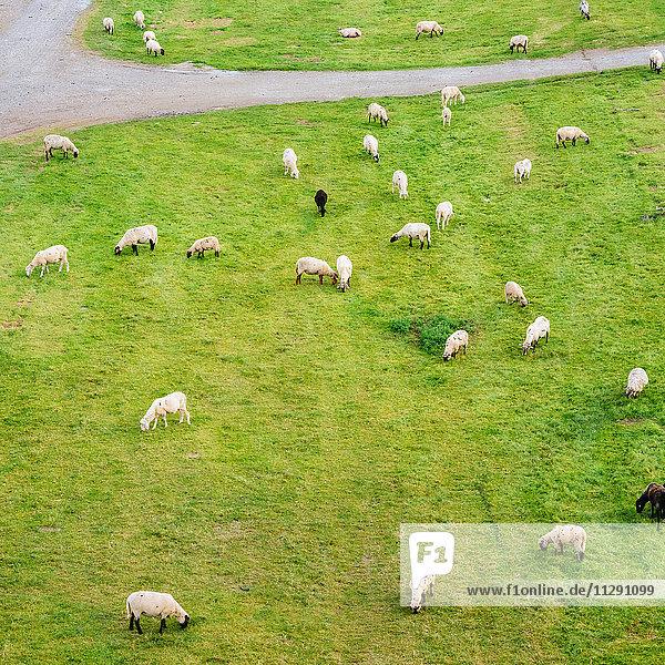 Schafherde auf den Rheinwiesen