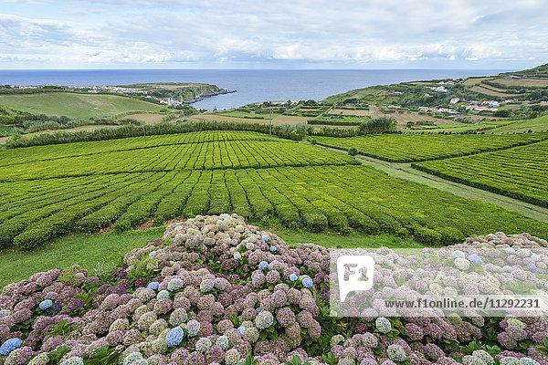 Portugal  Azoren  Sao Miguel  Teeplantage an der Nordküste