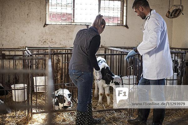 Tierärztin und Bäuerin bei der Suche nach Kälbern auf dem Bauernhof