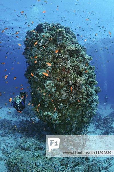 Weiblicher Taucher  Fischschwarm von Juwelen-Fahnenbarschen (Pseudanthias squamipinnis) bei einer Koralle  Rotes Meer  Al-Qusayr  Ägypten  Afrika