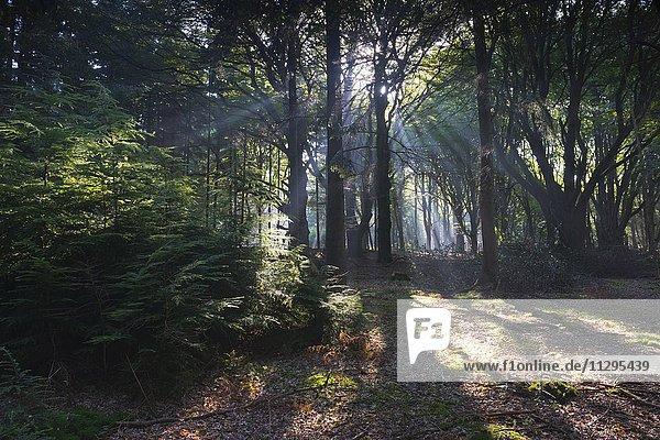 Sonnenstrahlen scheinen durch die Baumstämme im Wald  Mischwald  Emsland  Niedersachsen  Deutschland  Europa