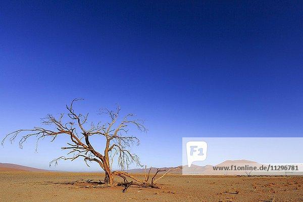 Dead tree in Dead Vlei  Sossusvlei  Namib Desert  Namib-Naukluft National Park  Namibia  Africa