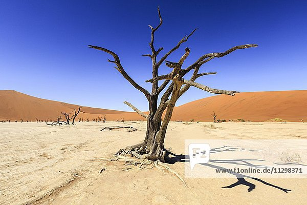 Abgestorbene Bäume im Dead Vlei  Sossusvlei  Namib-Wüste  Namib-Naukluft-Nationalpark  Namibia  Afrika