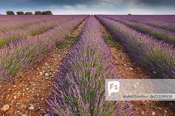 Blühendes Lavendelfeld (Lavandula angustifolia) am Plateau de Valensole  Département Alpes-de-Haute-Provence  Region Provence-Alpes-Côte d?Azur  Frankreich  Europa